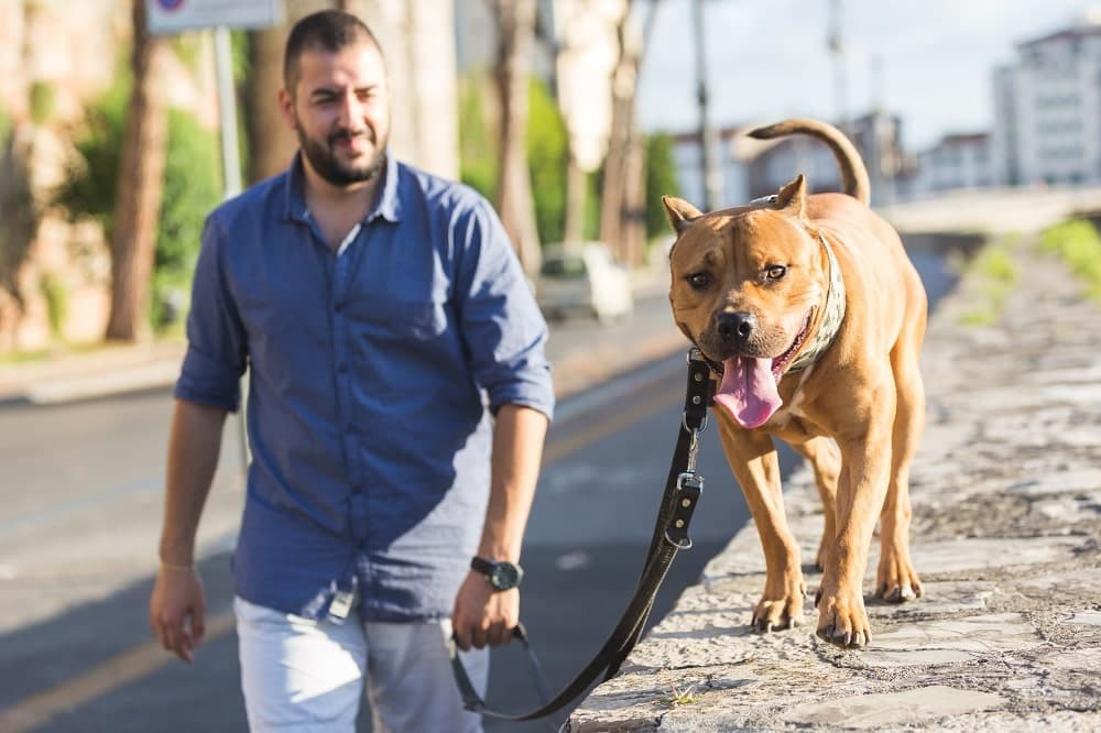 Man taking his pitbull for a walk.